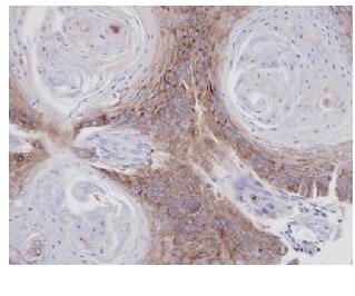 Immunohistochemistry (Formalin/PFA-fixed paraffin-embedded sections) - Anti-Annexin VII antibody (ab97323)