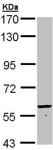 Western blot - Anti-58K Golgi protein antibody (ab97341)