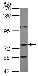 Western blot - Anti-AKAP10 antibody (ab97354)