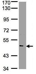 Western blot - Anti-Nova1 antibody (ab97368)