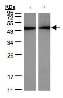 Western blot - Anti-Alpha Skeletal Muscle Actin antibody (ab97378)