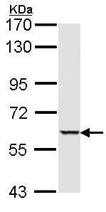 Western blot - Anti-Serine/threonine-protein kinase 4 / MST-1 antibody (ab97399)