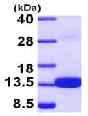 SDS-PAGE - Recombinant Human S100Z protein (ab97408)