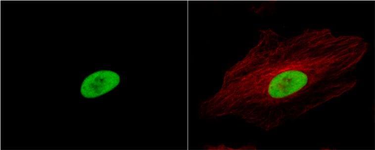 Immunocytochemistry/ Immunofluorescence - Anti-Ku80 antibody (ab97433)
