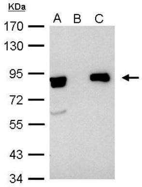 Immunoprecipitation - Anti-Ku80 antibody (ab97433)