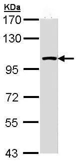 Western blot - Anti-LARS2 antibody (ab97439)