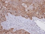 Immunohistochemistry (Formalin/PFA-fixed paraffin-embedded sections) - Anti-IDI1 antibody (ab97448)