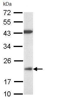 Western blot - Anti-DUSP3 antibody (ab97453)