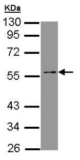 Western blot - Anti-TEAD4 antibody (ab97460)