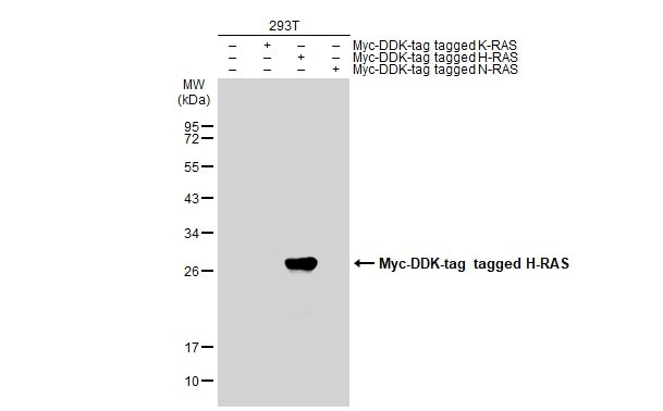 Immunoprecipitation - Anti-GTPase HRAS antibody (ab97488)