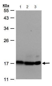 Western blot - Anti-ATP5D antibody (ab97491)