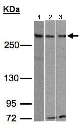 Western blot - Anti-ATRX antibody (ab97508)