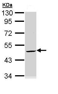 Western blot - Anti-Cytokeratin 20 antibody - Cytoskeleton Marker (ab97511)
