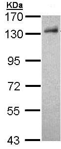 Western blot - Anti-DDB1 antibody (ab97522)
