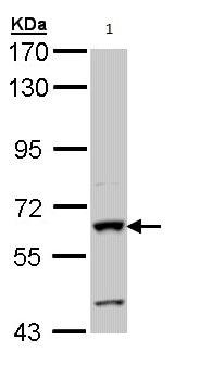 Western blot - Anti-Human intestinal alkaline phosphatase antibody (ab97532)