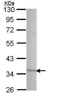 Western blot - Anti-SEC61A antibody (ab97537)