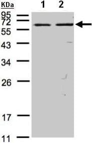 Western blot - Anti-FASTK antibody (ab97544)