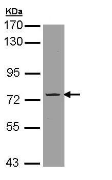 Western blot - Anti-PDE9A antibody (ab97556)
