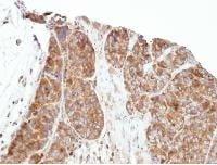 Immunohistochemistry (Formalin/PFA-fixed paraffin-embedded sections) - Anti-PRPSAP1 antibody (ab97561)