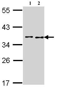 Western blot - Anti-BCCIP antibody (ab97577)