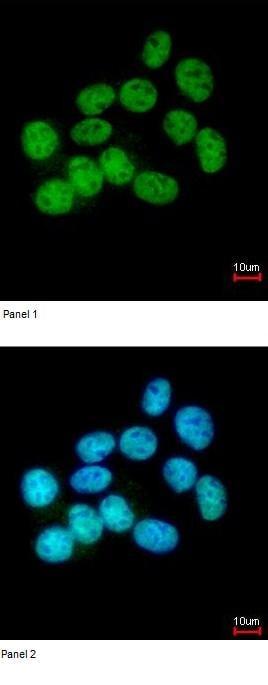 Immunocytochemistry/ Immunofluorescence - Anti-NuMA antibody (ab97585)