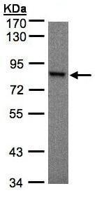 Western blot - Anti-RSK1 p90 antibody (ab97595)