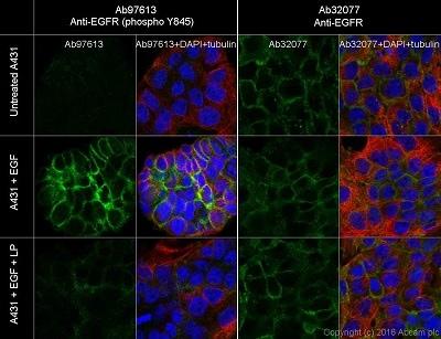 Immunocytochemistry/ Immunofluorescence - Anti-EGFR (phospho Y845) antibody [EPR2149Y] (ab97613)
