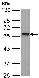 Western blot - Anti-TUBA1B antibody (ab97622)