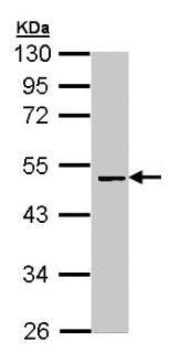 Western blot - Anti-Factor X antibody (ab97632)