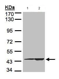 Western blot - Anti-CMAS antibody (ab97655)