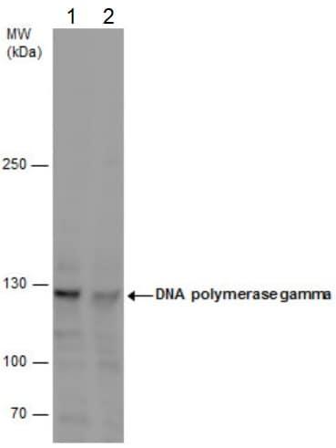 Western blot - Anti-POLG antibody (ab97661)