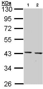 Western blot - Anti-GULP antibody (ab97669)
