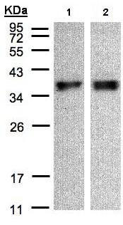 Western blot - Anti-ZPBP1 antibody (ab97691)