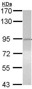 Western blot - Anti-ITIH3 antibody (ab97758)