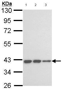 Western blot - Anti-LOC727787 antibody (ab97768)