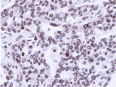 Immunohistochemistry (Formalin/PFA-fixed paraffin-embedded sections) - Anti-Lamin A + Lamin C antibody (ab97774)