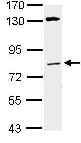 Western blot - Anti-Lamin A + Lamin C antibody (ab97774)