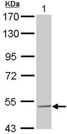 Western blot - Anti-SESN3 antibody (ab97792)