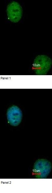 Immunocytochemistry/ Immunofluorescence - Anti-BEN Domain Containing Protein 5 antibody (ab97809)