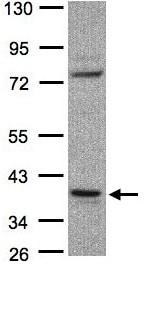 Western blot - Anti-CCDC68 antibody (ab97815)