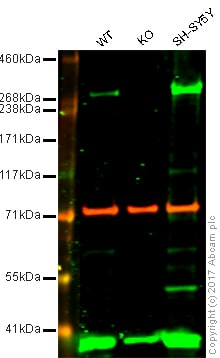 Western blot - Anti-IP3 receptor antibody (ab97823)