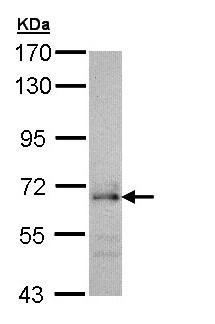 Western blot - Anti-CDC45L antibody (ab97832)
