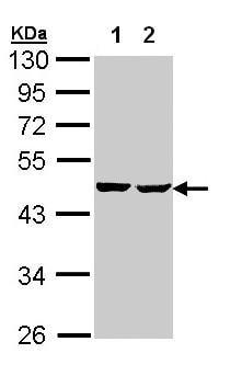 Western blot - Anti-SUCLA2 antibody (ab97868)