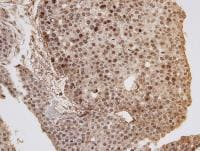 Immunohistochemistry (Formalin/PFA-fixed paraffin-embedded sections) - Anti-GOLGA6 antibody (ab97888)