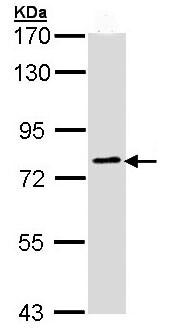 Western blot - Anti-GOLGA6 antibody (ab97888)
