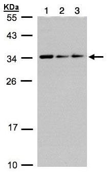 Western blot - Anti-CIP29 antibody (ab97920)