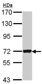 Western blot - Anti-GBP3 antibody (ab97935)