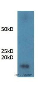 Immunoprecipitation - Anti-Statherin antibody (ab97950)