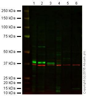 Western blot - Anti-SOX2 antibody (ab97959)