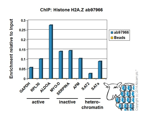 ChIP - Anti-Histone H2A.Z antibody - ChIP Grade (ab97966)